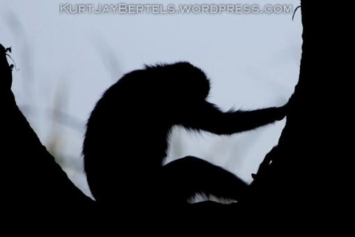 The Thinker, Kurt Jay Bertels, photo safari, photographic safari, photo tour, wildlife photography, photography, wildlife photographic safari, photo coaching, safari, photographic, BBC Wildlife Photographer of the year, WPOY, Veolia Wildlife photographer of the year, 2010, BBC photo competition, photographic competition, vervet money, monkey