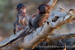 Kurt Jay Bertels, photo safari, photographic safari, photographic tour, photo tour, BBC wildlife photographer of the year, 2012, wildlife photography, photography, images, award, 50 safaris, 50 photographic safaris, south africa, africa, kruger national park, baboon, chacma baboon, baby, playing