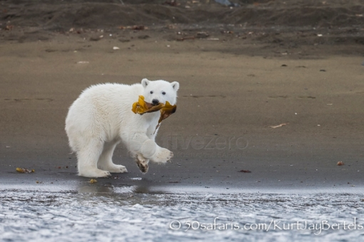 50 photographic safaris, 50 safaris, fight, fighting, gulls, flying, ice, Svalbard, kurt jay bertels, landing, ocean, photo lessons, photo safari, photo tour, photo workshop, photographic safari, photographic tour, safari, sea, wildlife, wildlife photographic safari, wildlife photography, summer, images, polar bears polar bear, bear, cub , 6 months, cute, playing, mom, running