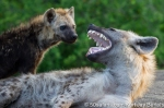 photo safari, photographic safaris, photo tour, photo workshop, photo lessons, best time to go, kurt jay bertels, 50 safari, 50 photographic safaris, wildlife photography, photography, wildlife, south africa, spotted hyena, mother, pup, cub