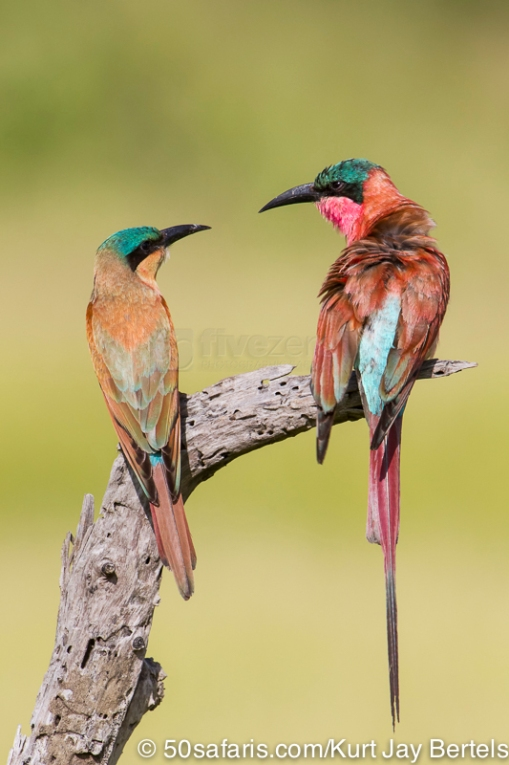 photo safari, photographic safaris, photo tour, photo workshop, photo lessons, best time to go, kurt jay bertels, 50 safari, 50 photographic safaris, wildlife photography, photography, wildlife, wildlife photography, south africa, carmine bee-eater, bee-eater